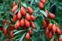 Ягода Годжи - ягода долголетия